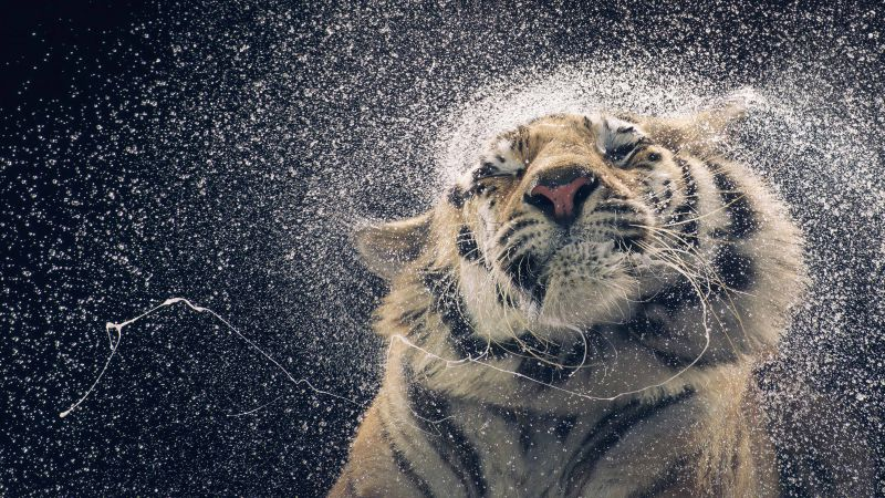 Tiger, drops, cute animals, funny (horizontal)