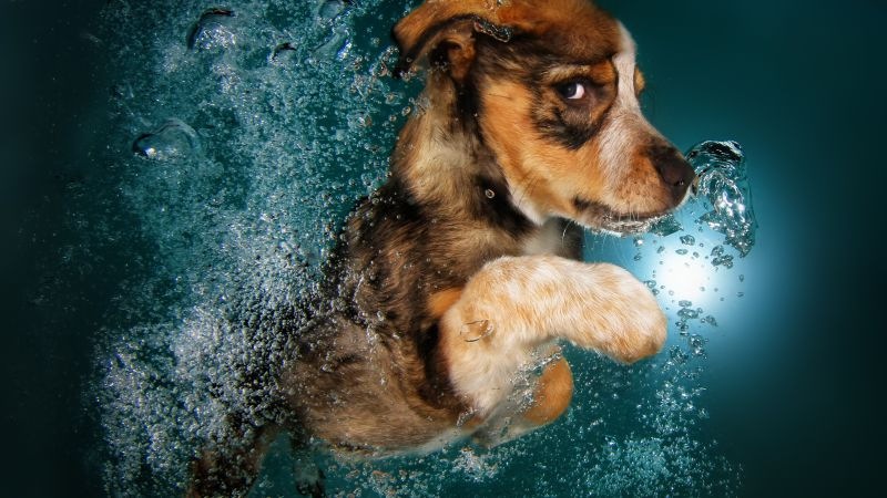 Border Collie, dog, underwater, cute animals, funny (horizontal)
