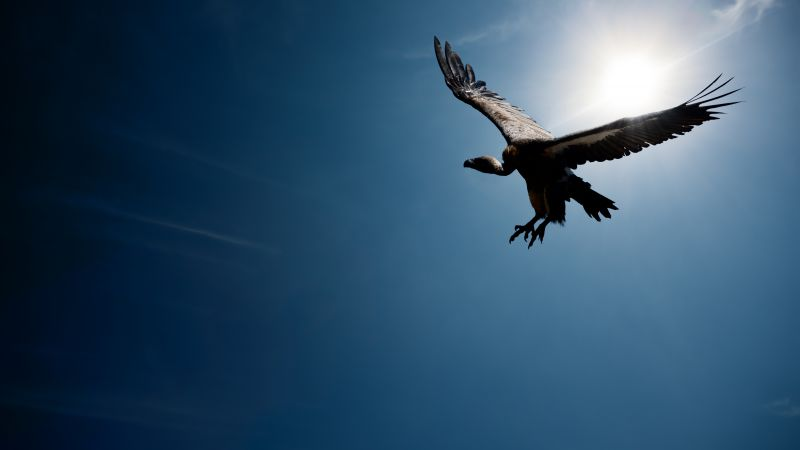 Vulture, flight, sky, sun (horizontal)