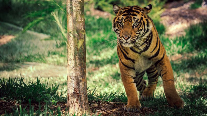 Tiger, savanna, cute animals (horizontal)