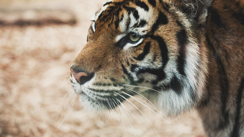 Tiger, savanna, look, cute animals (horizontal)