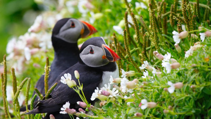 Puffin, couple, wildflowers