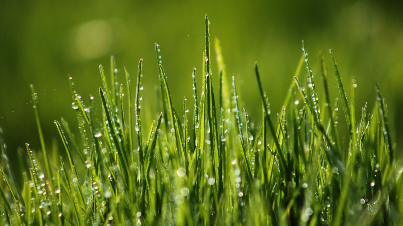 Green grass, field, dew