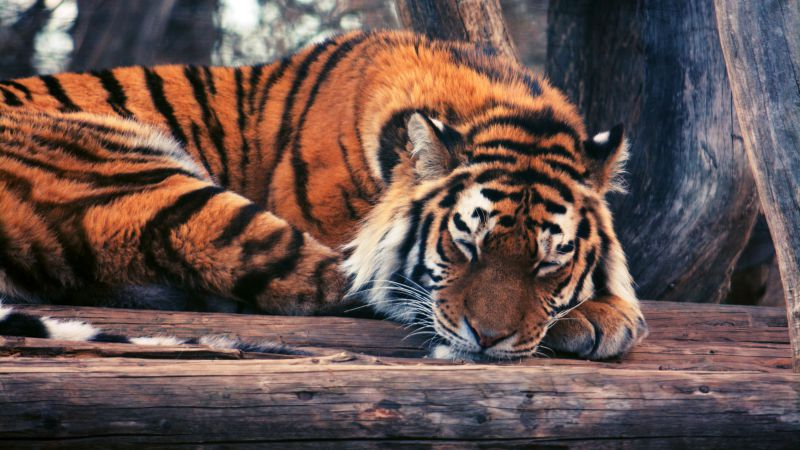 Tiger, cute animals, funny (horizontal)