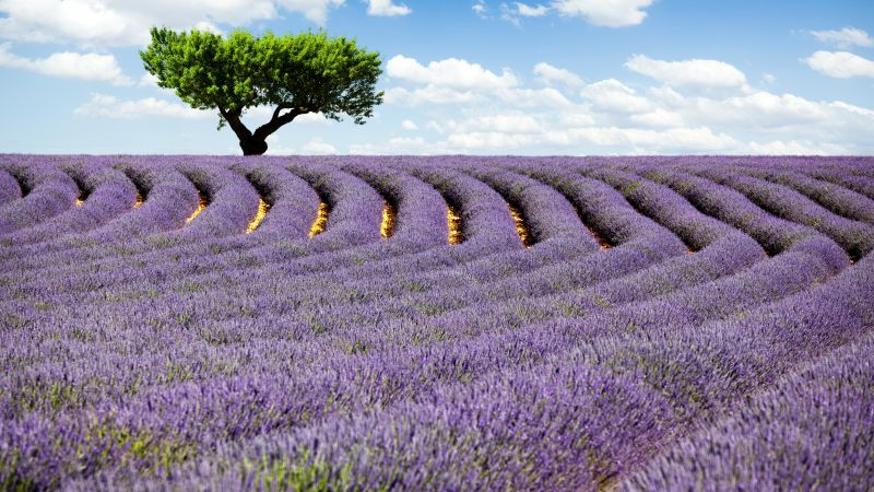 Lavender field, Provence, France, Meadows, lavender, tree, sky