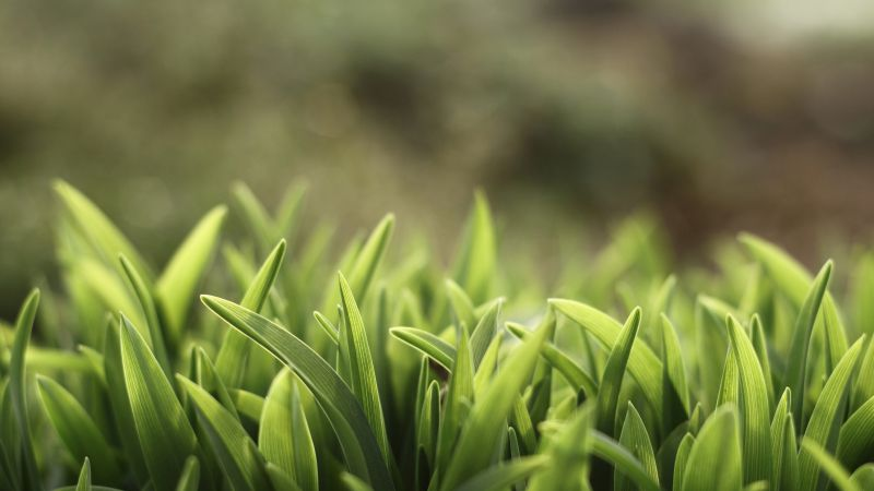 Green grass, 5k, 4k wallpaper, macro (horizontal)