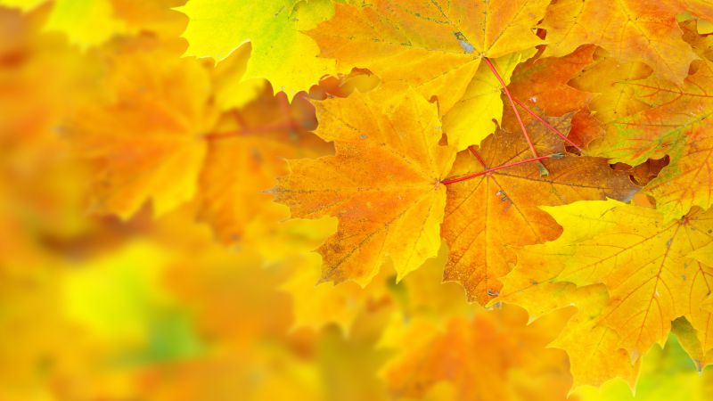 Leaves, 5k, 4k wallpaper, 8k, maple, macro, yellow (horizontal)
