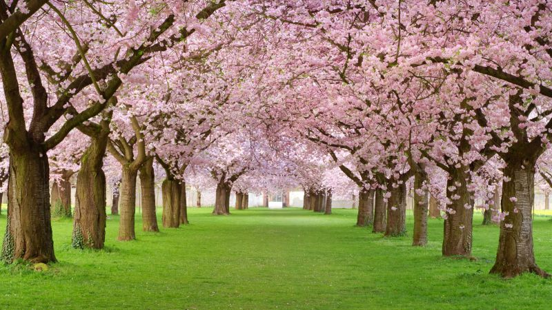 Trees, 4k, HD wallpaper, blossom, park, pink (horizontal)