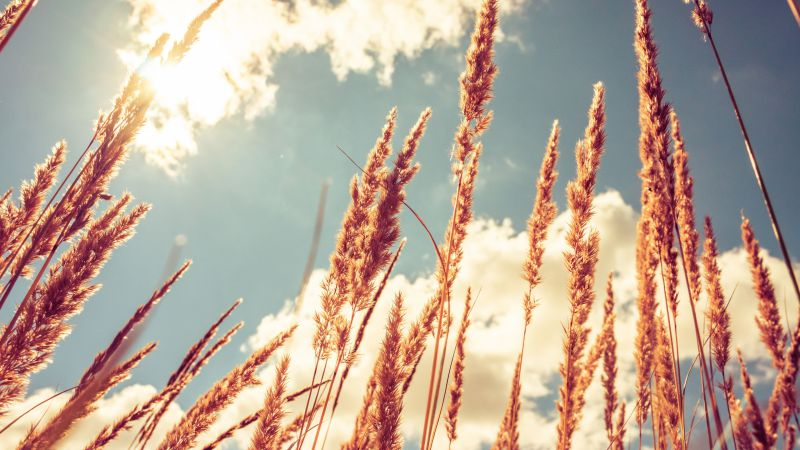 Wheat, 4k, HD wallpaper, meadows, sky (horizontal)