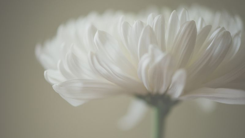 Aster, 5k, 4k wallpaper, macro, petals, white (horizontal)