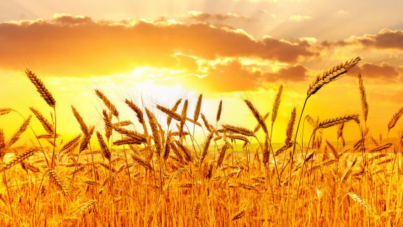 Wheat, 5k, 4k wallpaper, meadows, sunset (horizontal)