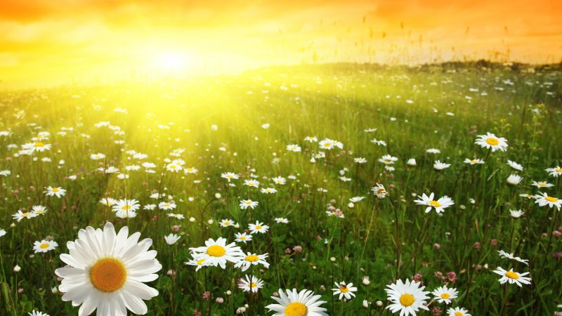 Daisies, meadows, sunset