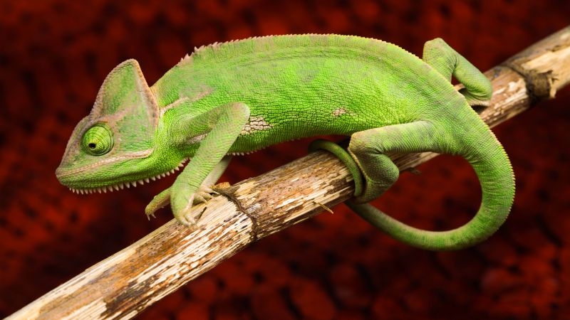 Chameleon, lizard, green