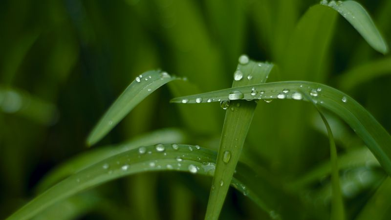 Grass, HD, 4k wallpaper, macro, drops, green (horizontal)