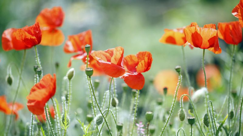 Poppy, 5k, 4k wallpaper, meadows, flowers (horizontal)
