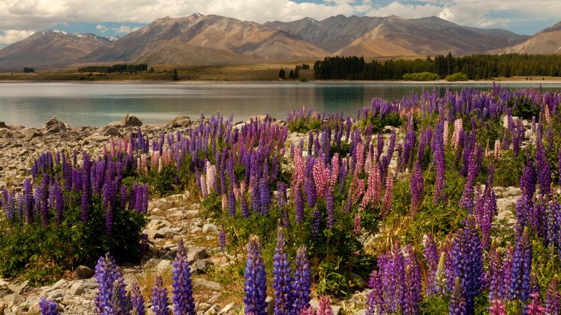 lavander, 5k, 4k wallpaper, Lake Tekapo, South Island, New Zealand, booking, rest, travel, mountains, sky, clouds, vacation (horizontal)