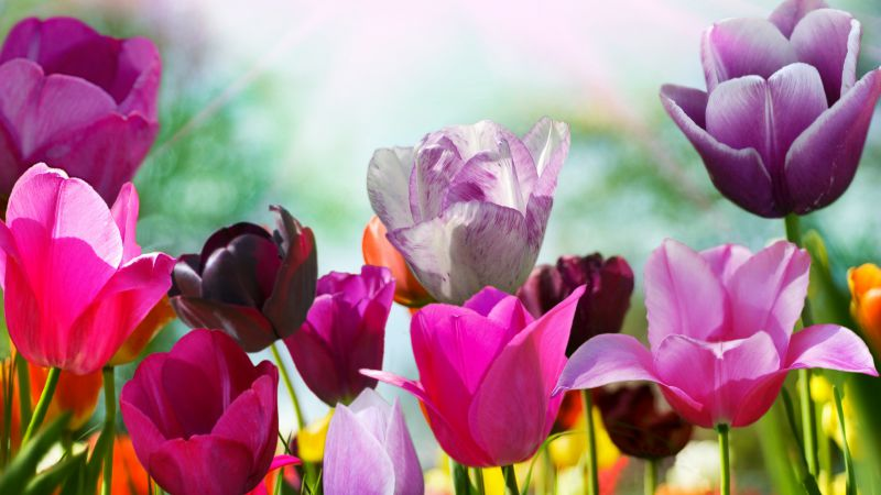 Tulips, 5k, 4k wallpaper, flowers, pink, purple (horizontal)