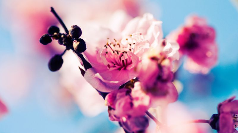 Cherry, 4k, 5k wallpaper, blossom, branch, spring, pink (horizontal)