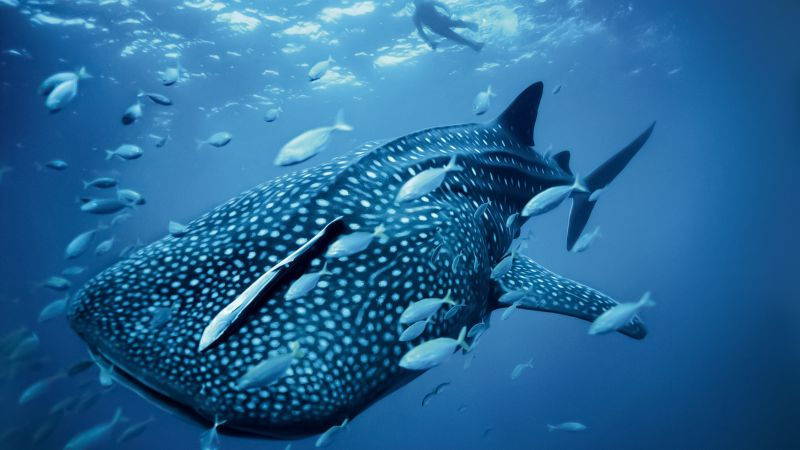 Whale shark, Palau, Philippines, diving, tourism, travel (horizontal)