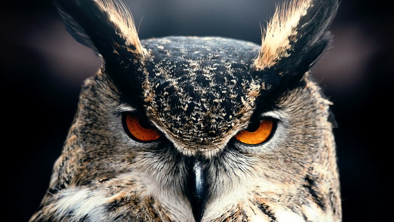 Owl, 4k, HD wallpaper, Eyes, wild, nature, gray (horizontal)