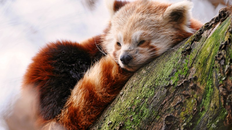 Red panda, animals, winter, sleep, zoo