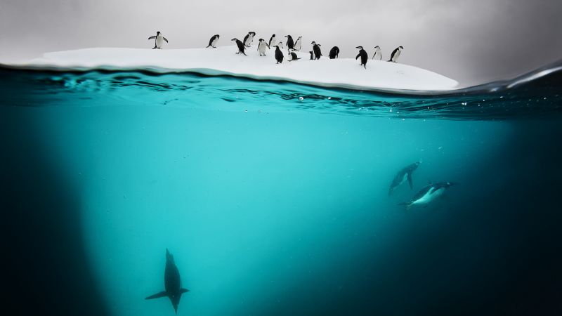 Penguin, New Zealand, underwater (horizontal)