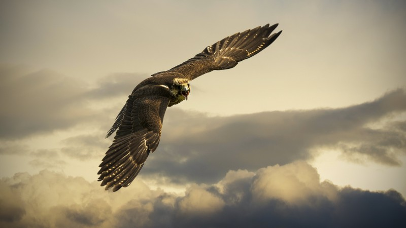Hawk, 4k, HD wallpaper, sky, clouds, fly, gray (horizontal)