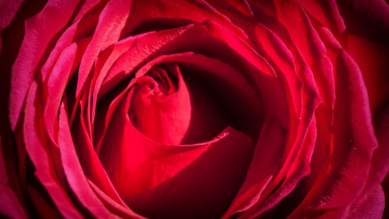 Rose, 4k, 5k wallpaper, red, macro, flowers (horizontal)