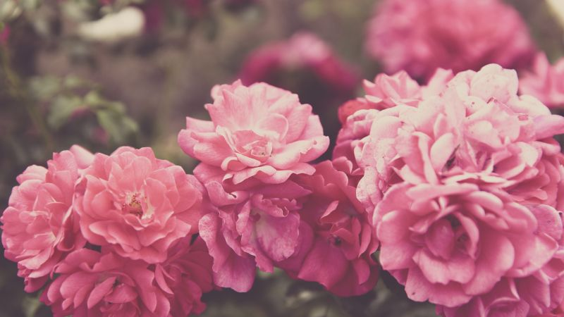 Roses, 4k, 5k wallpaper, 8k, flowers, pink (horizontal)
