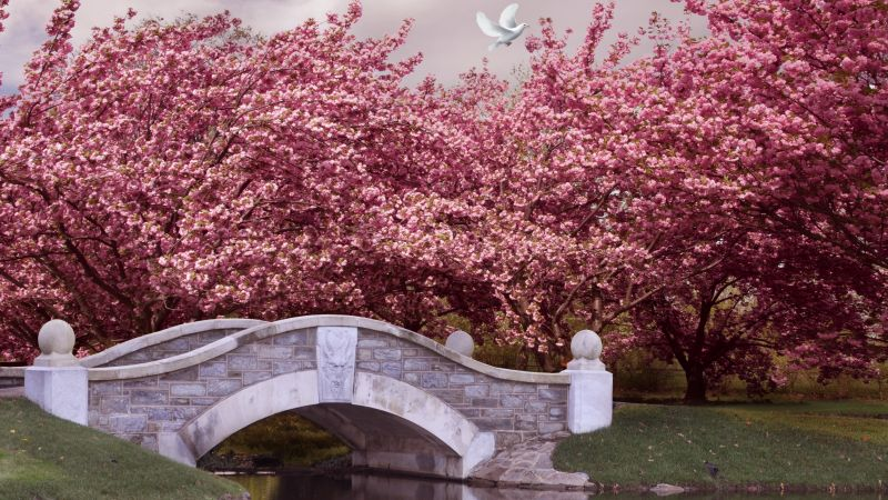 Japan, 5k, 4k wallpaper, blossom, cherry, bridge, river, dove (horizontal)