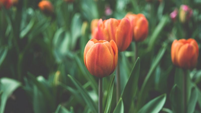Tulips, 4k, 5k wallpaper, flowers, red, green (horizontal)