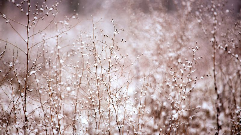Bush, meadows, pink, snow