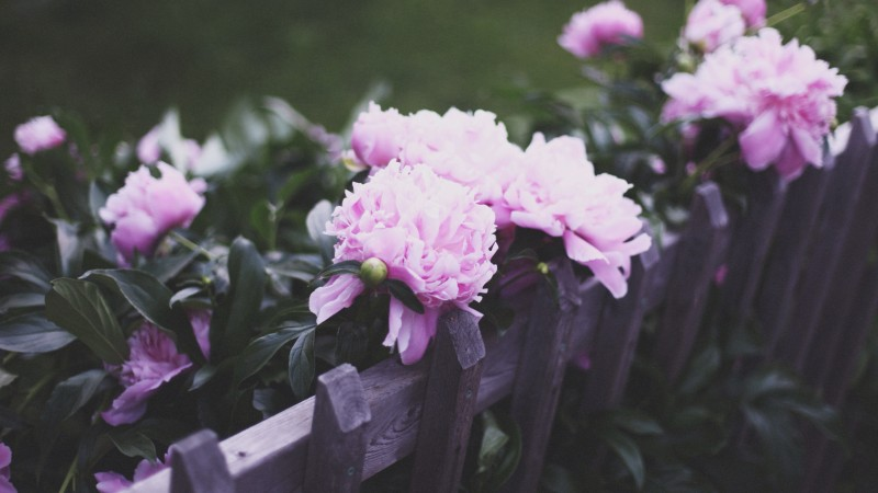 peonies, pink, fence, effects