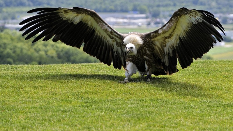 Eagle, green grass, wings, nature, wild (horizontal)