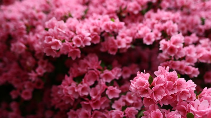 Flowers, pink, spring