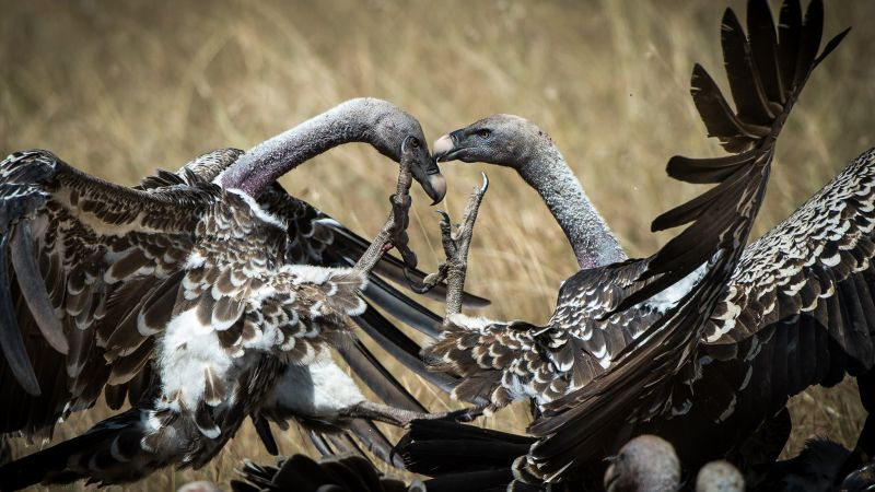 Vulture, Masai Mara, Kenya, bird, National Geographic Traveler Photo Contest (horizontal)