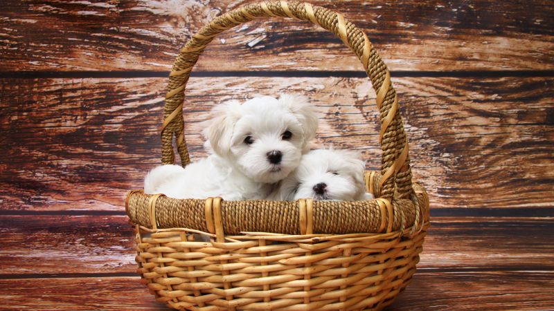 Maltese dogs, puppy, white, pet