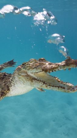 Crocodile, Calf, Swim, Underwater, Bubbles (vertical)