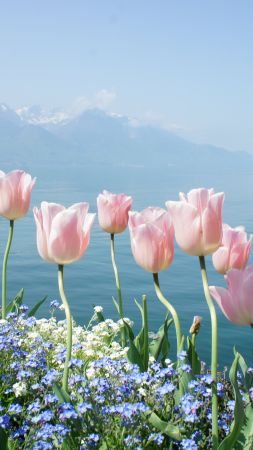 tulip, 4k, HD wallpaper, spring flowers, mountains (vertical)