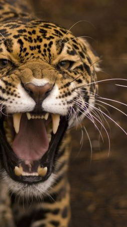 jaguar, wild, cat, face, teeth, rage, anger, jaws, teeth (vertical)
