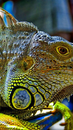 Green Iguana, reptiles, nature, lizard (vertical)