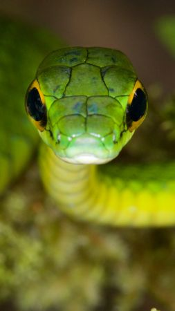 Satiny Parrot Snake, Snake, green, danger, eyes (vertical)