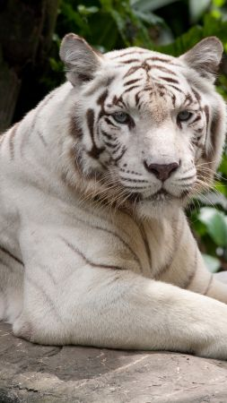 white tiger, nature, wild, animals (vertical)
