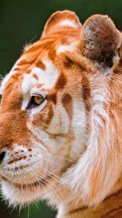 tiger, nature, wild, animals (vertical)