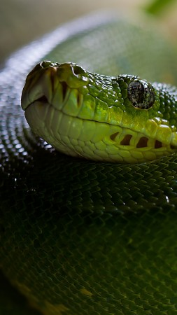 Python, Snake, Head, Scales, Green, Boa