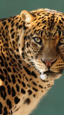 jaguar, wild, cat, face (vertical)