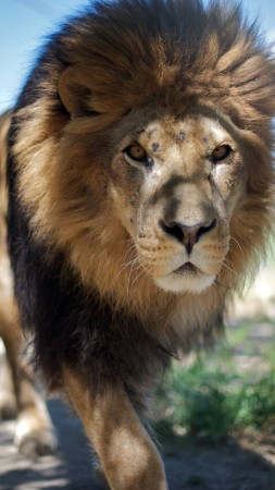 Lion, mane, step, nature, king of beasts, look, wild (vertical)