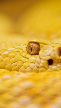 Snake, 4k, HD wallpaper, albino, rattlesnake, yellow, Eyes, reptiles (vertical)
