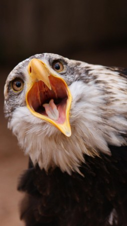 Eagle, bird, feathers, shout, eyes, nature (vertical)