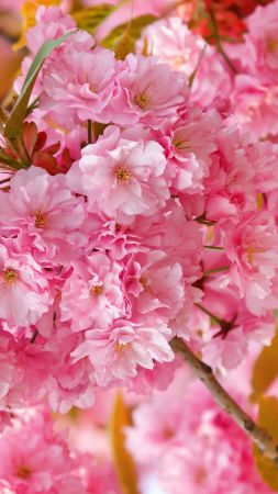 sakura, 4k, HD wallpaper, cherry blossom, pink, spring, flowers (vertical)